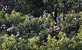 Asian Openbill Stork Community (13517651813).jpg
