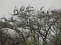 Asian Openbill in Keoladeo Ghana National Park.jpg