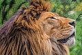 Asian lion, Yokohama Zoological Gardens; 2016.jpg