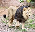 Asiatischer Loewe Panthera leo persica Tiergarten Nuernberg-21.jpg