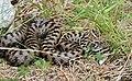Asp Viper (Vipera aspis) male (found by Jean NICOLAS) (35364237430).jpg