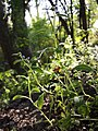 Asperugo procumbens sl24.jpg
