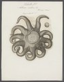 Asterias endeca - - Print - Iconographia Zoologica - Special Collections University of Amsterdam - UBAINV0274 108 04 0006.tif