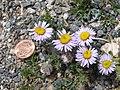 Asters (Aster alpinus) P6040293.jpg