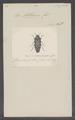 Astraeus - Print - Iconographia Zoologica - Special Collections University of Amsterdam - UBAINV0274 023 06 0040.tif