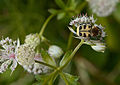 Astrantia major C.jpg