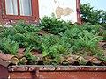 Asturias Cudillero tejado con helechos ni.jpg