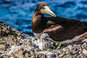 Brown booby - With its baby in São Pedro and São Paulo Archipelago, Pernambuco, Brazil