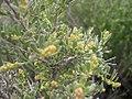 Atriplex spinosa male flwr-4-13-04.jpg