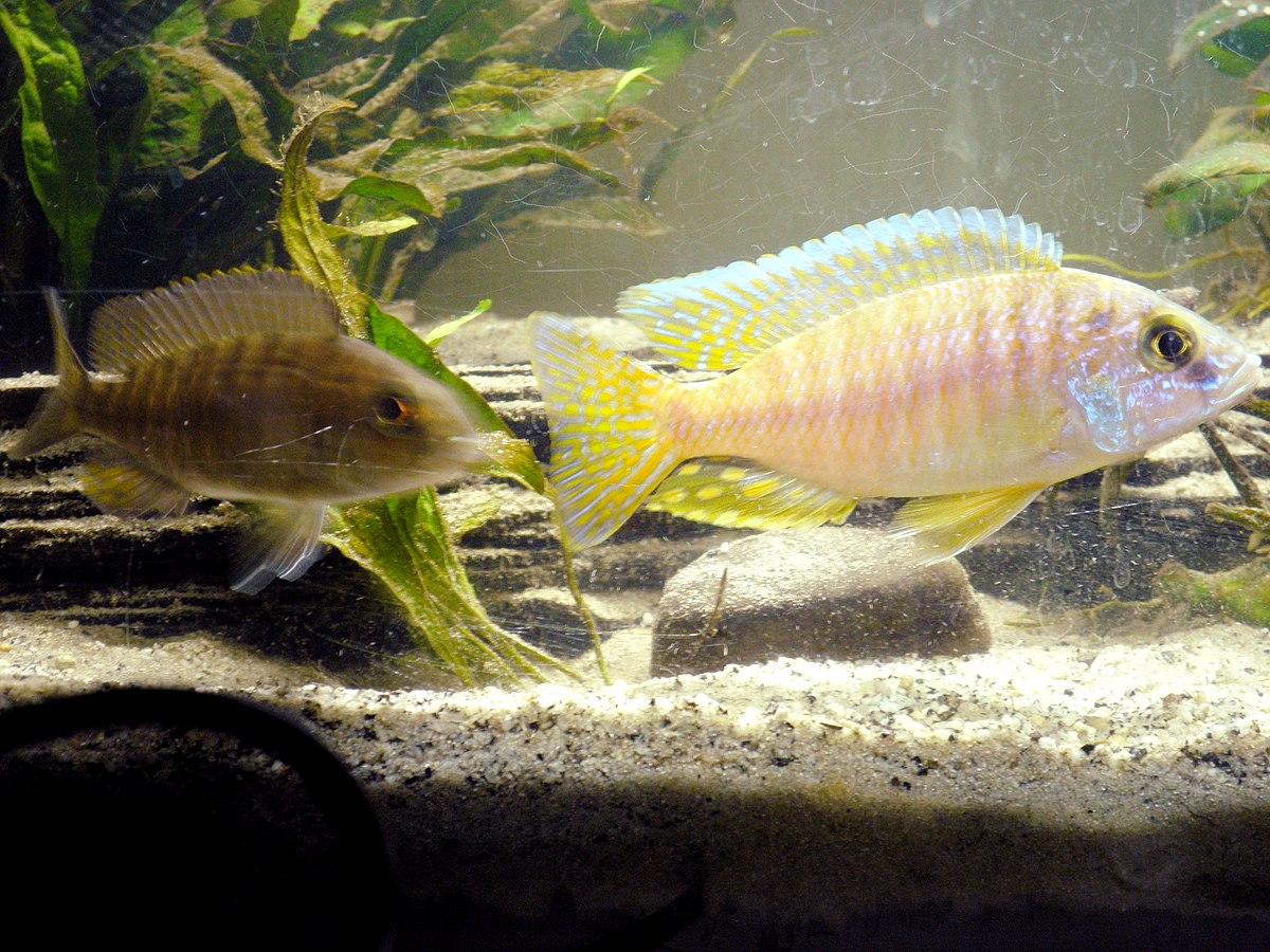Aulonocara hueseri wikispecies for Malawi buntbarsch