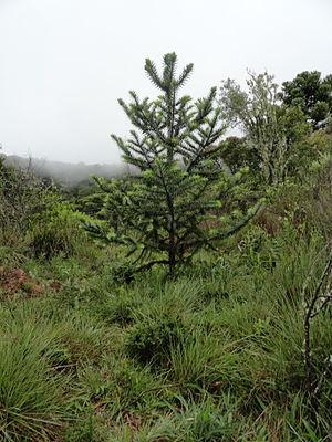 Araucaria angustifolia - A very young Araucaria angustifolia