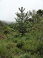 Auraucaria angsmall1.jpg