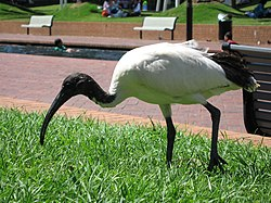 meaning of ibis