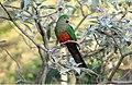 Australian King-Parrot (Alisterus scapularis) female (31233341392).jpg