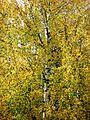 Autumn, Trees going Yellow - Flickr - anantal (2).jpg