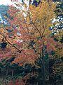 Autumn leaf in Ryoanji.jpg