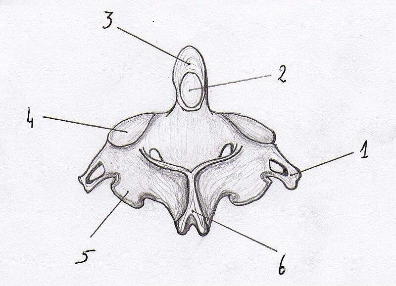 File:Axis vertebra posterior view.jpg