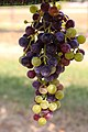 BUNCH WINE GRAPES green and purple (48986220673).jpg