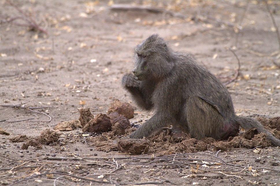 Baboon eating elephant dung