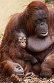 Baby Orangutan 3 (7109563039).jpg