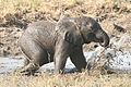 Baby elephant mud bathing chobe.jpg