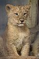 Baby lioness Naui (4203193573) (2).jpg