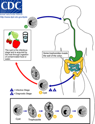 Trophozoite - Life cycle of Balantidium coli