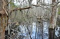 Bald Cypress Trail First Landing State Park-spanish moss-trees-reflection (33208566685).jpg