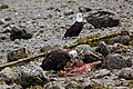 Bald Eagles on the beach in Ucluelet (5945808061).jpg