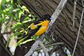 Baltimore Oriole bathing and other monkeyshines (34576531815).jpg
