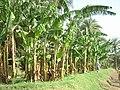 Banánsziget - panoramio.jpg