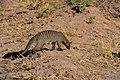Banded mongoose, Ruaha National Park (4) (28723556705).jpg