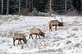 Banff - elks.jpg