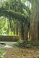 Banyan Tree at Trichambaram.jpg