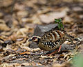 Bar-backed Partridge.jpg