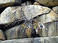 Barabar Caves - Decorated Tree (9224896191).jpg