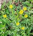Barbarea vulgaris in Lozere (2).jpg