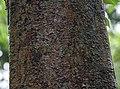 Bark I IMG 8415.jpg