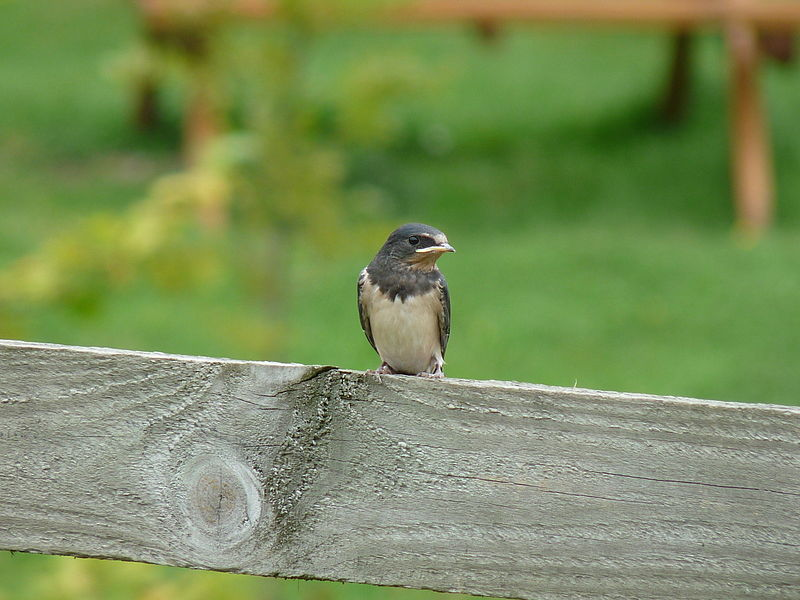 File:Barn Swallow Juvenile (4352445726).jpg