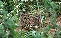 Barred button quail-Turnix suscitator.jpg