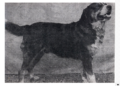 Barri von Herzogbuchsee, a founding father of Greater Swiss Mountain Dogs.PNG