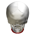 Base of mandible - skull - posterior view01.png
