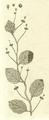 Basella japonica-BUR Fl Indica 131-Tab 39.png