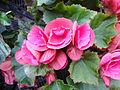 Begonia × hiemalis.JPG