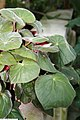Begonia acetosa 2zz.jpg