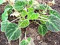 Begonia imperialis2.JPG