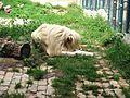 Beli lav u beogradskom ZOO vrtu.jpg