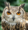 Bengalese Eagle Owl 1a (2693022650).jpg