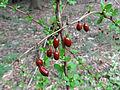 Berberis thunbergii SCA-01452.jpg