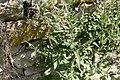 Bergdunört. Epilobium montanum-3076 - Flickr - Ragnhild & Neil Crawford.jpg